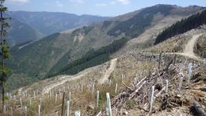 50haに及ぶ大面積皆伐地。シカの食害を防ぐため、苗木にツリーシェルターをかぶせているが、完全に防ぐことはできていない。